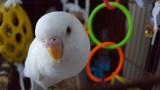 Perk the albino budgie
