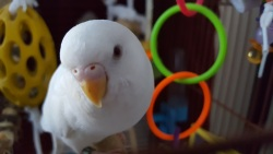Perk the albino budgie