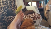 budgie-big toe-chug